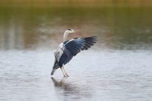Grey Heron landing in the water in its habitat